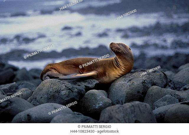 South America, Ecuador, Galapagos islands, isles, San Cristobal Chatham, Galapagis sea lion, Zalophus californianus wo