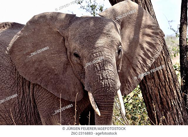 In front of a young elephant`s face , Loxodonta africana, in Buffalo Springs, Kenya