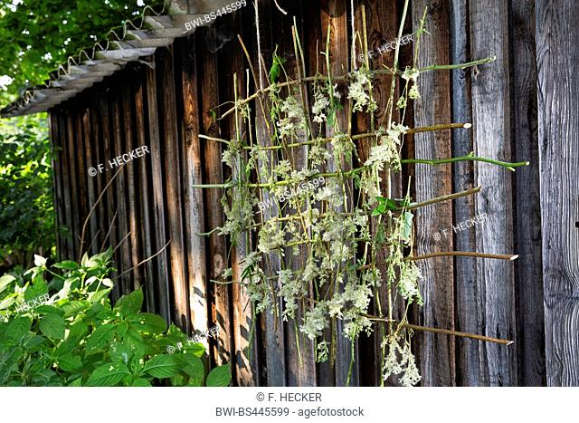 meadowsweet, queen-of-the-meadow (Filipendula ulmaria), is dried on a grid made of willow twigs, Germany