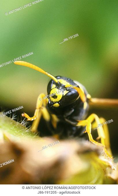 Wasp (Polistes dominulus)
