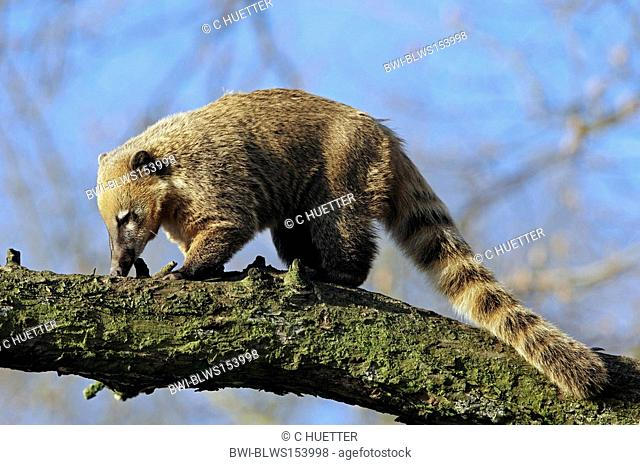 coatimundi, common coati, brown-nosed coati Nasua nasua, climbing at branch