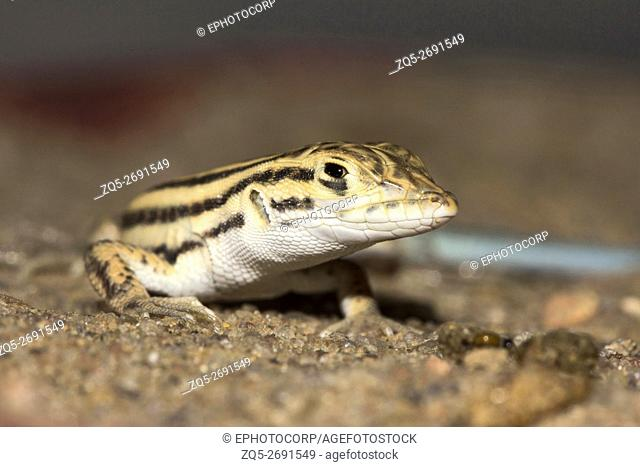 Cantor's Lacertid, wall lizard Jaisalmer, Rajasthan, India
