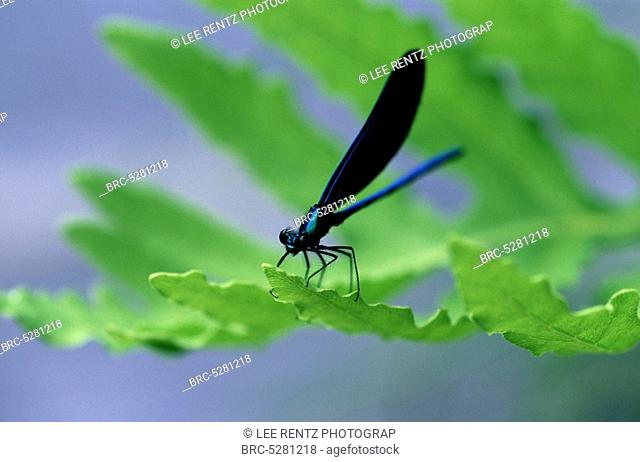 , Black,winged Damselfly Calopteryx maculata aka Ebony Jewelwing male on Sensitive Fern Onoclea sensibilis at edge of Ontonagon River, Ottawa National Forest