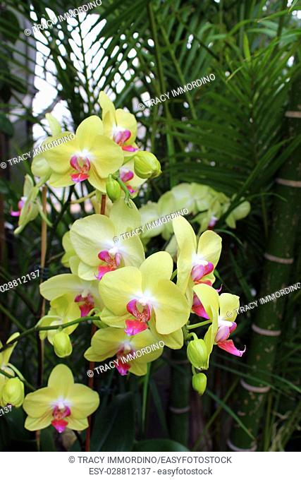 A cluster of blooming yellow Phalaenopsis orchids with bamboo in the background