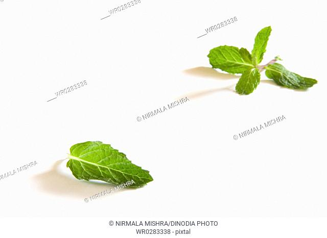 Indian spice , fresh Mint leaves Pudina Mentha on white background