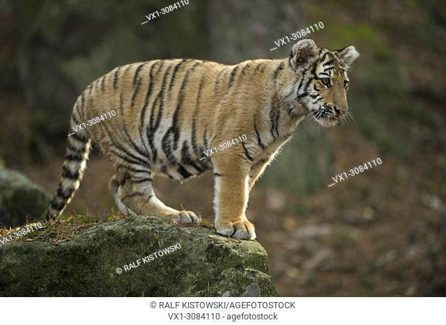 Bengal Tiger ( Panthera tigris ), young animal, standing on a rock in a natural forest, looks down