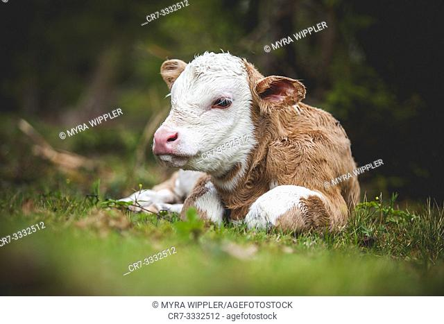 New born calf resting
