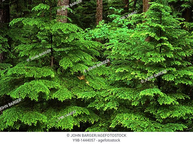 Spring growth of Western Hemlock Tsuga heterophylla saplings, Middle Santiam Wilderness, Willamette National Forest, Oregon, USA