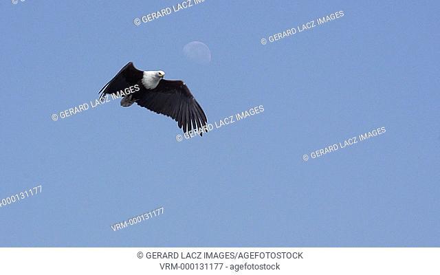 African Fish-Eagle, haliaeetus vocifer, Adult in flight, Chobe River, Okavango Delta in Botswana, Slow motion