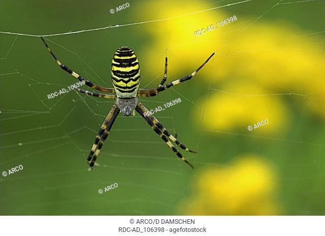 Black-and-Yellow Argiope female in web Lower Saxony Germany Argiope bruennichi