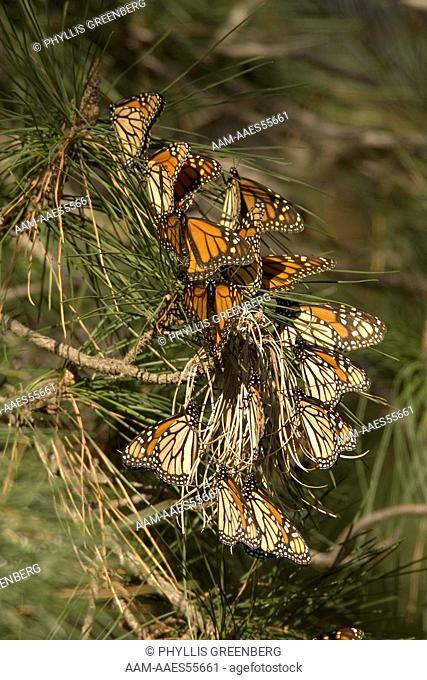 Monarch Butterfly (Danaus plexippus) Pismo Beach, CA 2007 Digital capture