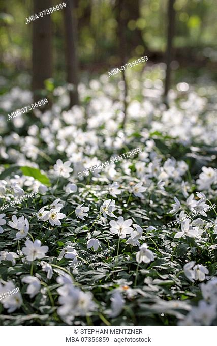 Flower carpet of wood anemone in backlight, Anemone nemorosa, Ranunculaceae