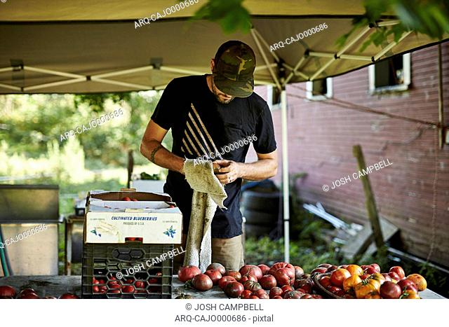 A Farmer Cleans Off An Organic Tomato