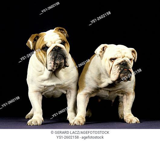 English Bulldog against Black Background