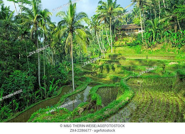 Tegallalang rice terraces, Ubud, Bali, Indonesia