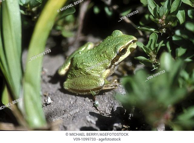Green frog, Willamette Valley, Oregon, USA