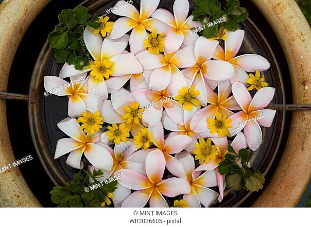 High angle close up of a bowl of white and yellow Frangipani blossoms