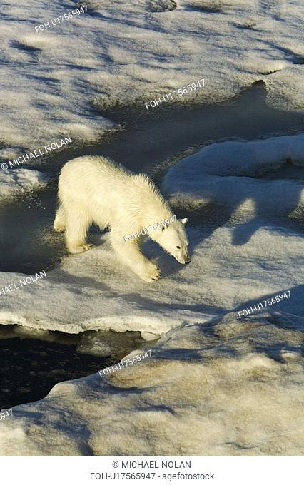 Polar bear Ursus maritimus on multi-year ice floes in the Barents Sea off the eastern coast of EdgeÏya Edge Island in the Svalbard Archipelago, Norway