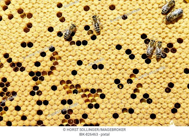 Bees (Apis mellifera var. carniola) on the honeycomb with covered cells and pollen