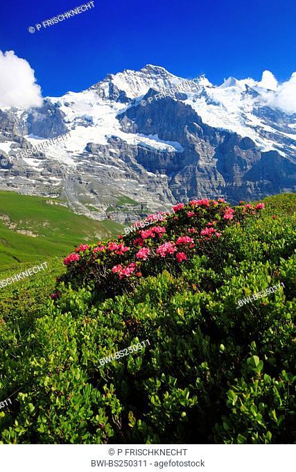 rust-leaved alpine rose Rhododendron ferrugineum, blooming in front of Jungfrau, Switzerland, Bernese Oberland