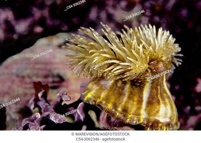 Sea anemone of Hermit crab (Calliactis parasitica). Eastern Atlantic. Galicia. Spain. Europe
