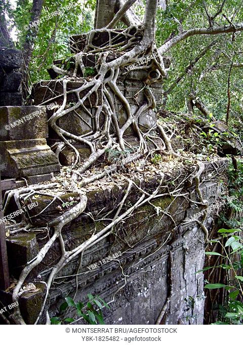 Rootsystem creeping on stone wall at Beng Mealea, Cambodia