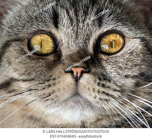 Close -up of cat face. British Shorthair that is looking at camera with attitude