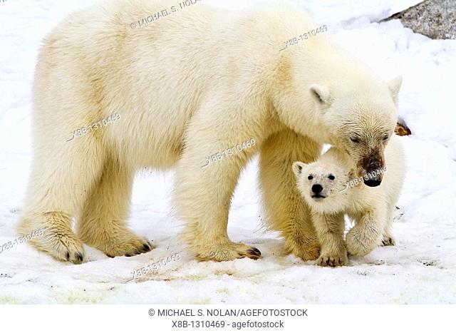 Mother polar bear Ursus maritimus with COY cub-of-year in Holmabukta on the northwest coast of Spitsbergen in the Svalbard Archipelago