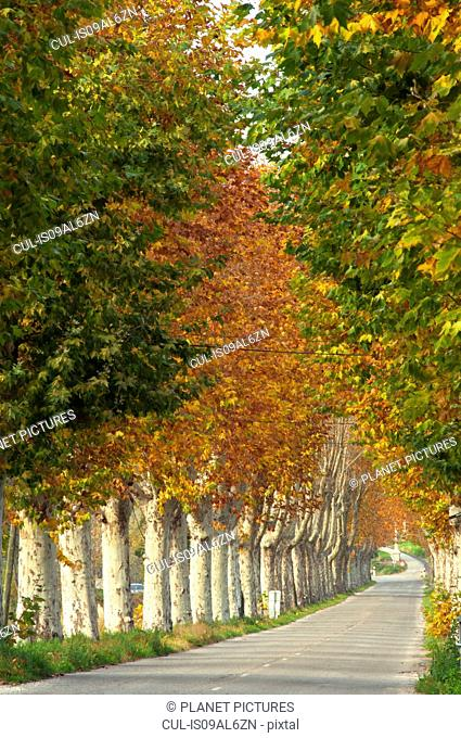 Rural road lined with poplar trees in autumn, Provence, France