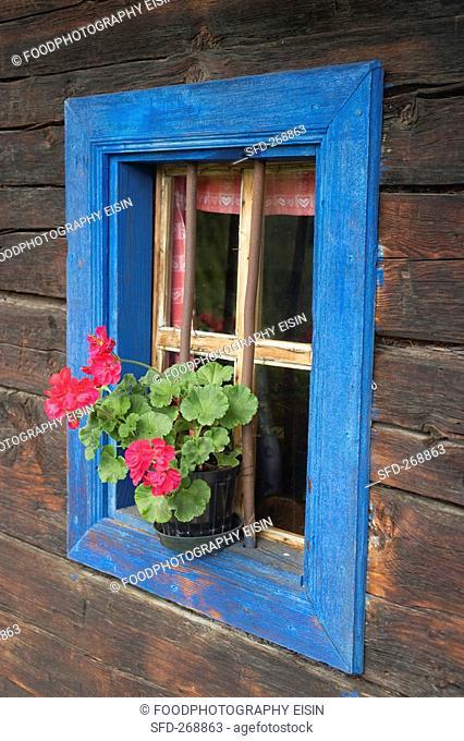 Pelargoniums on a farmhouse window ledge
