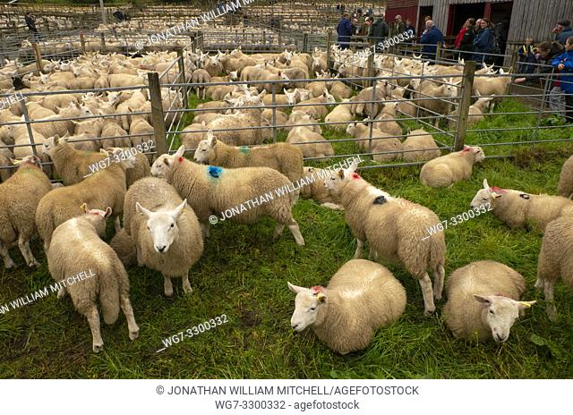Sheep Sales Today