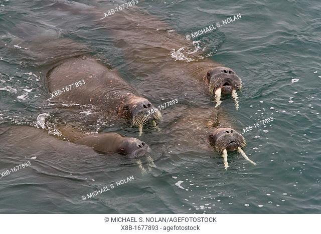 Curious adult bull walrus Odobenus rosmarus rosmarus approach the ship at Moffen Island in the Svalbard Archipelago, Norway