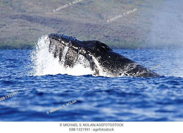 Adult humpback Whale Megaptera novaeangliae head-lunge in competitive group possible mating behavior in the AuAu Channel, Maui, Hawaii, USA  Pacific Ocean