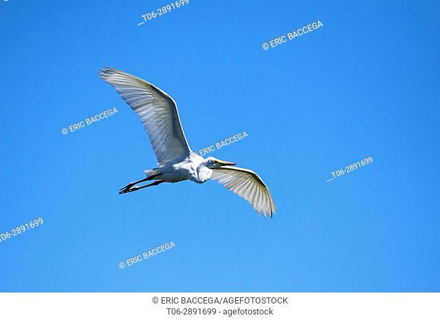 Great Egret flying (Ardea alba), Moremi National Park, Okavango Delta, Botswana, Southern Africa