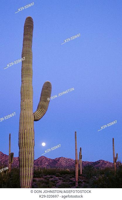 Full moon and Saguaro cactus. Organ Pipe Cactus National Monument. Sonoran desert. Arizona. USA