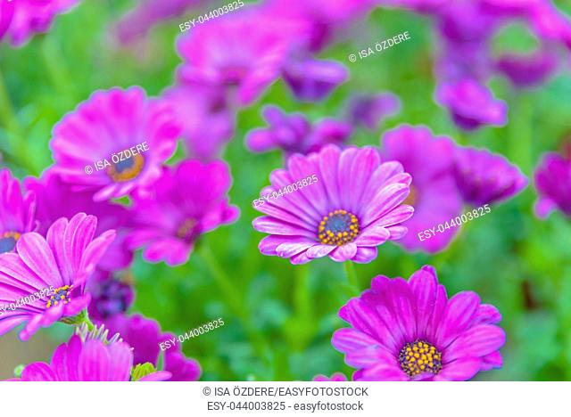 Top view of pink and violet flowers in natural garden for sale in pots
