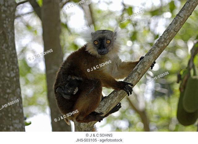 Black Lemur, Lemur macaco, Nosy Komba, Madagascar, adult female with baby on tree