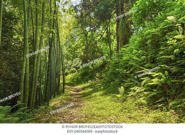 Batumi, Georgia. Beautiful Road Lane Path Way Through Summer Bamboo Forest Woods And Fern Bushes. Nobody