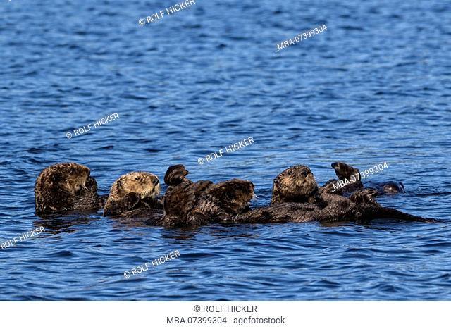 A small raft of cute sea otters floating off Vancouver Island, British Columbia, Canada