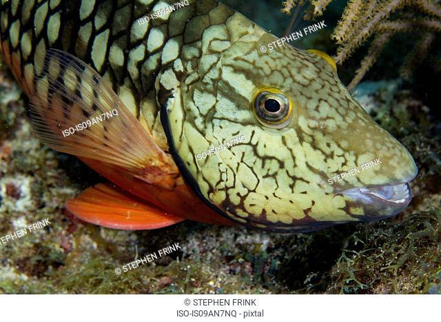 Adult Stoplight parrotfish