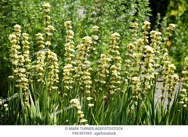 Satin Grass  (Sisyrinchium striatum). UW Medicinal Herb Garden. Seattle. Washington. USA