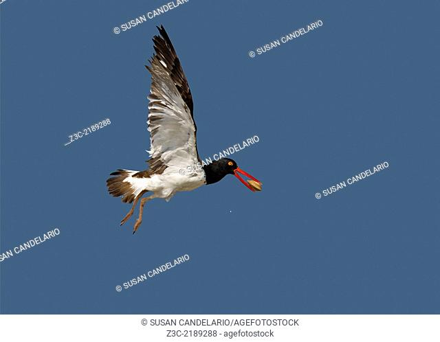 American Oystercatcher in flight with a clam in the mouth