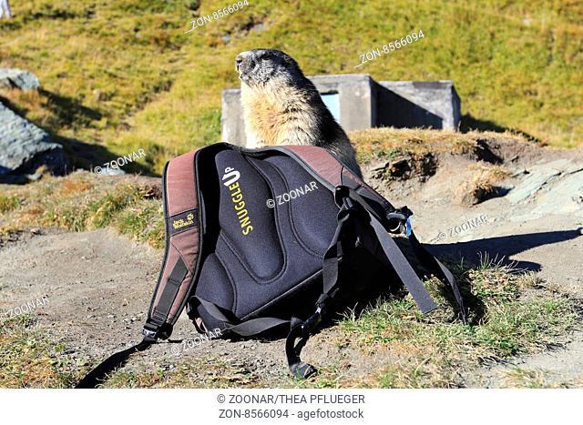 Trusting marmot