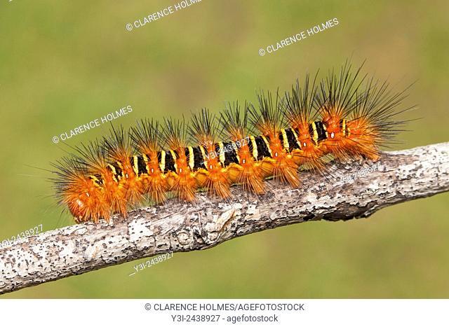 Echo Moth (Seirarctia echo) caterpillar (larva), Highlands Hammock State Park, Sebring, Florida