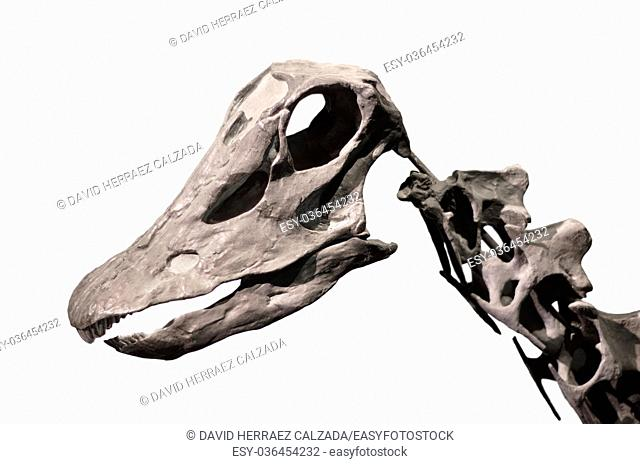 Diplodocus skeleton on white isolated background