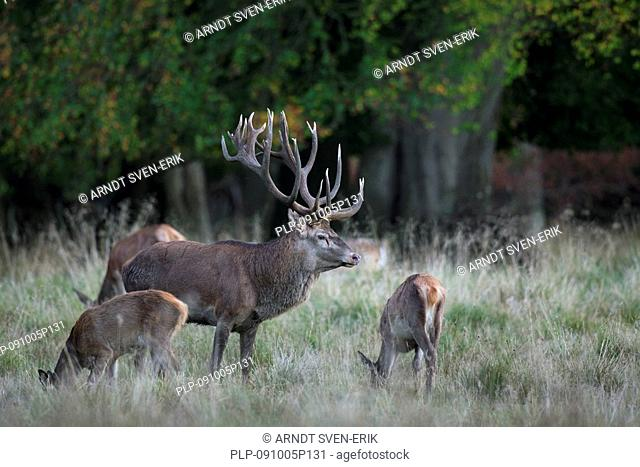 Red deer Cervus elaphus stag with hinds during the rut, Denmark