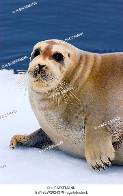 bearded seal Erignathus barbatus, portrait, Norway, Spitsbergen, Jun 05