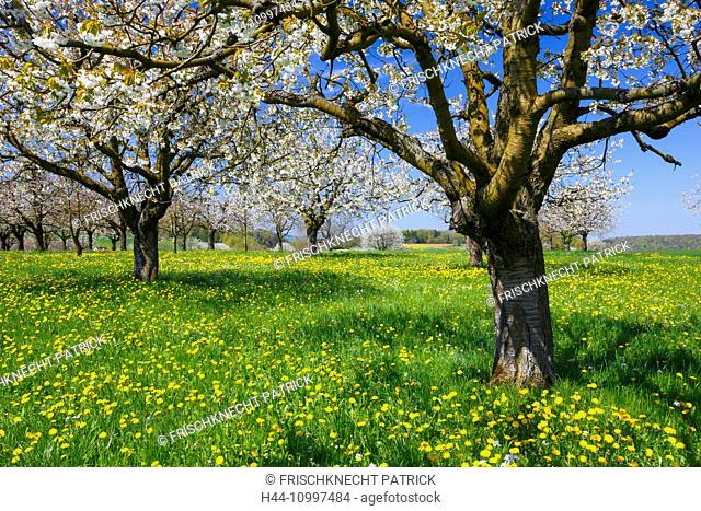 Cherry trees in spring, Prunus avium, Baselland, Switzerland