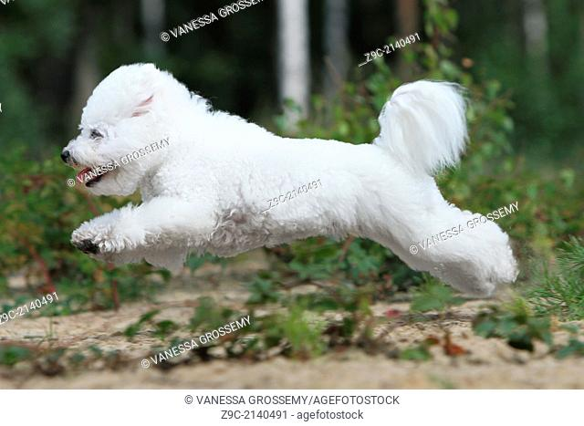 Dog Bichon Frise / adult running in a park