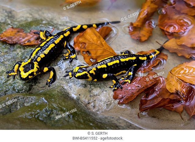 European fire salamander (Salamandra salamandra), two individuals sitting on a rock a a forest creek, Switzerland, Sankt Gallen